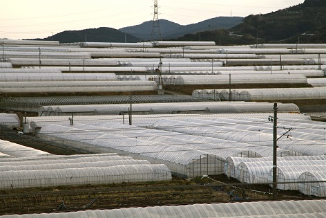 熊本県植木町産スイカ